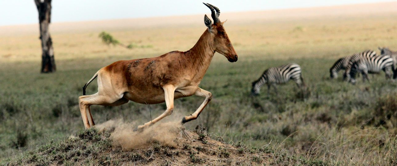 The Hartebeest on Sprinting Move