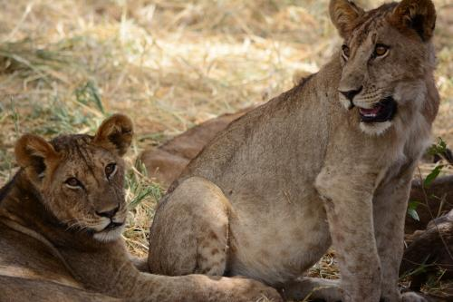 Tanzania Safari-The Pride of Lions in Serengeti