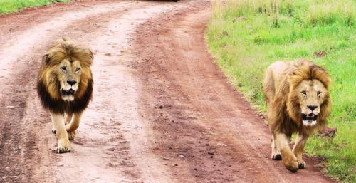 Male Lions Coming Face-to-Face to Our Safari Jeep