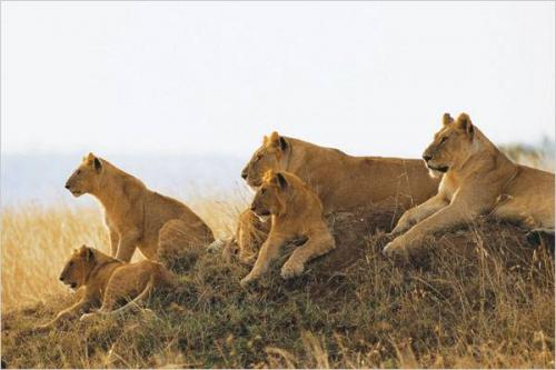 A Big Pride of Lions on Vantage Point in Serengeti